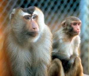 Two Pigtail macaques