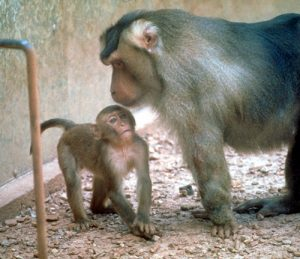 Pigtail macaque mother and infant