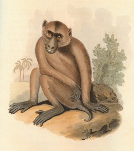 Pigtail macaque artwork