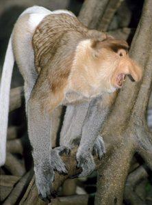 Proboscis monkey vocalizing in a tree
