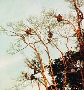 Multiple Proboscis monkeys high in trees