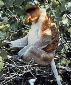 Proboscis monkey sitting in a tree nest