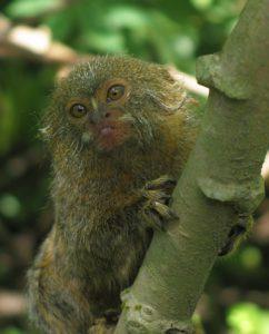 Pygmy marmoset grasping branch