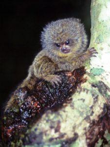 Pygmy marmoset in tree