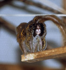 Rear end view of pygmy marmoset