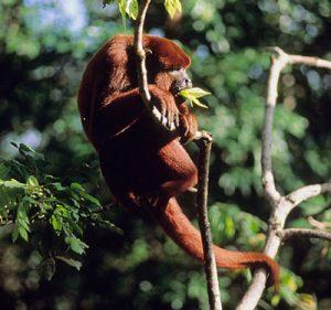 Red howler monkey eating leaves