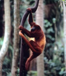 Red howler monkey climbing branch