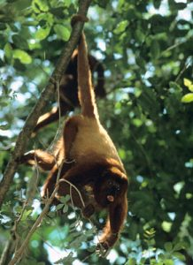 Red howler monkey hanging by prehensile tail on a branch