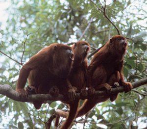 Three Red howler monkeys vocalizing