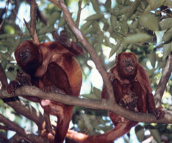Two red howler monkeys perched on a branch