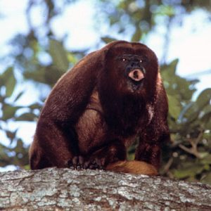 Red howler monkey howling