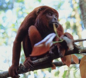 Red howler monkey perched on a branch