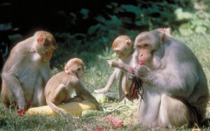 Rhesus macaque group feeding