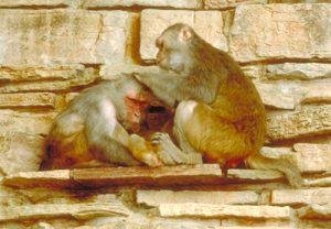 Rhesus macaque grooming a pal