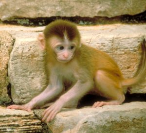 Infant Rhesus macaque