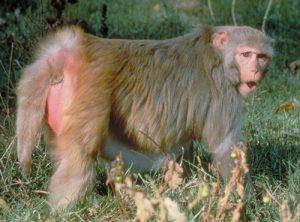 Adult Rhesus macaque