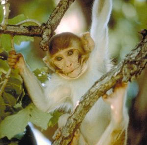 Infant Rhesus macaque perching in a branch
