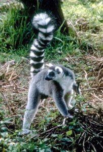 Ring tailed lemur body profile
