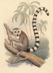 ring tailed lemur artwork