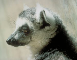 Ring tailed lemur head profile