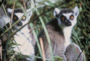 ring tailed lemurs in the grass