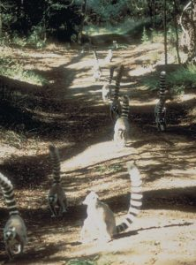 Ring tailed lemur group marching down trail