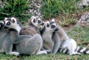 Ring tailed lemurs group hug on ground