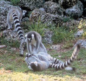 Ring tailed lemurs play