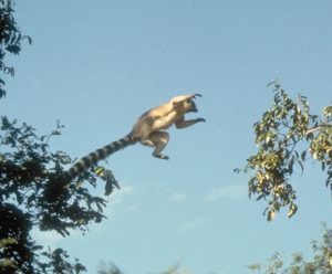 Ring tailed monkey leaping to nearby branch
