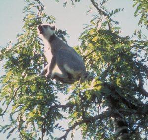 Ring tailed lemur vocalizing