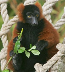 Ruffed lemur lounging on ropes