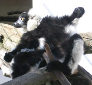 Ruffed lemur laying in sun on their back