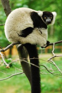Ruffed lemur perched on branch