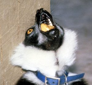 Ruffed lemur vocalizing
