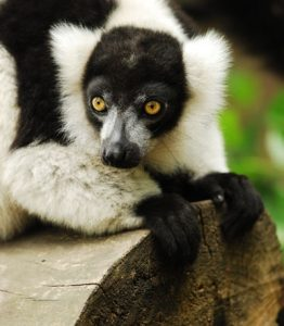 Ruffed lemur perched on log