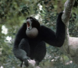 Siamang howling in a tree