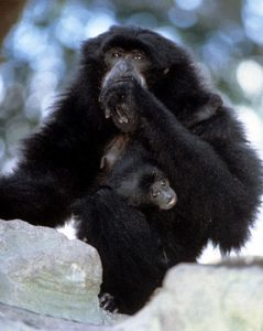 Siamang mother and infant