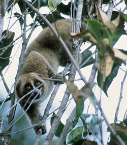 Slow loris in tree
