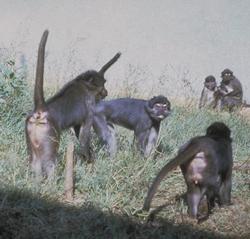 Sooty Mangabey group