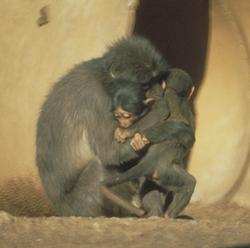 Mother, infant, and juvenile Sooty mangabey enbracing