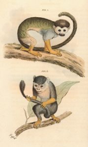 Squirrel monkey artwork