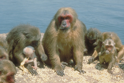 Group of stump-tailed macaques