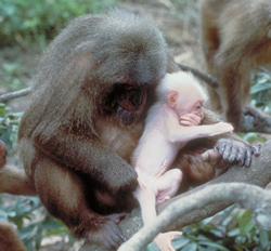 Mother and infant stump-tailed macaque