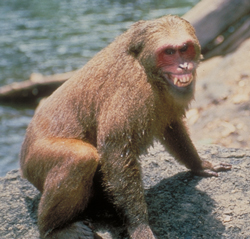 Stump-tailed macaque grimace