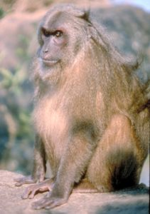 Stump-tailed macaque sitting on ground