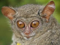 Tarsier face