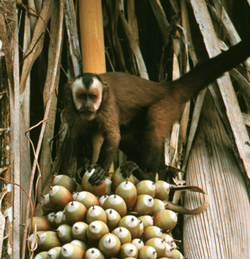 tufted capuchin monkey foraging