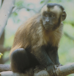 tufted capuchin monkey sitting on branch