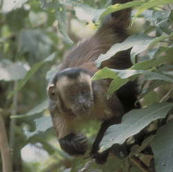 tufted capuchin monkey in tree