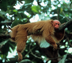uakari resting on tree branch